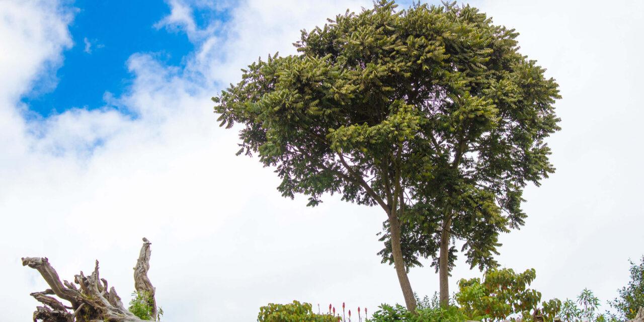 El Árbol de los Sueños, fuente de premoniciones